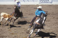 Team roping event, Old Spanish Days, Fiesta Rodeo and Stock Horse Show, Earl Warren Showgrounds, Santa Barbara, CA Royalty Free Stock Images