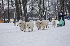 Team of Samoyed Dogs Pulling Sled Royalty Free Stock Photography
