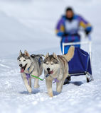A team of Siberian sled dogs Stock Image