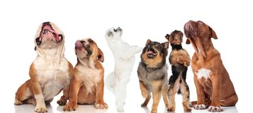Team of six curious dogs panting and looking up. And to side while standing and sitting on white background vector illustration