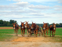Team of Six Mules Pulling Wagon Stock Photos