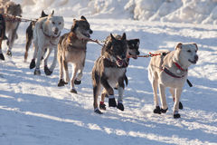 Team of sleigh dogs pulling Royalty Free Stock Image