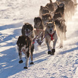 Team of sleigh dogs pulling. Team of enthusiastic sled dogs pulling hard to win the sledding race Royalty Free Stock Photography