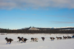 Team of sleigh dogs pulling Stock Photo