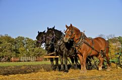 Team of three horses plowing field Royalty Free Stock Images
