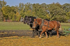 Team of three horses plowing field Royalty Free Stock Photos