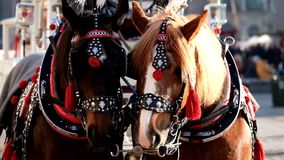 Team of two decorated horses for riding tourists. In a carriage stock video footage