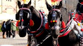 Team of two decorated horses for riding tourists. In a carriage stock video