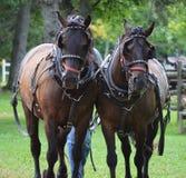 Team van Franse Canadese Paarden stock foto