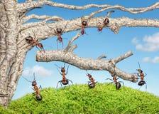 Team van mieren die tak van oude boom nemen Stock Afbeeldingen