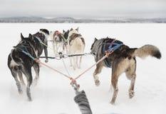 Team van zes huskies die een slee wachten in werking te stellen en te trekken royalty-vrije stock afbeeldingen