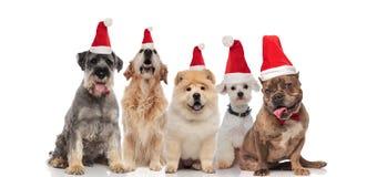 Team von fünf entzückenden Hunden, die Sankt-Kostüme und -bowtie tragen stockfotos