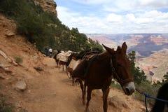 Team von Maultieren in Grand Canyon Stockbild