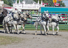 Team of White Miniatures Horse in Harness Stock Photos