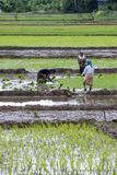 Women hand plant rice seedlings into an irrigated field at Udunuwara, near Kandy in central Sri Lanka. A team of women hand plant rice seedlings into an Royalty Free Stock Photos