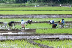 Women hand plant rice seedlings into an irrigated field at Udunuwara, near Kandy in central Sri Lanka. A team of women hand plant rice seedlings into an Royalty Free Stock Photo