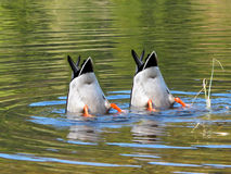 Team Work. Ducks in cooperation stock images