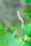 Team work, Ants Royalty Free Stock Photography