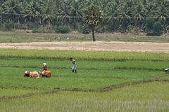 Teams of workers on an Indian rice plantation Royalty Free Stock Photo