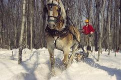 Teamster and Horse Logging #1. A Northern Michigan teamster guides his horse, which is dragging a log through the woods toward a collection point royalty free stock photo
