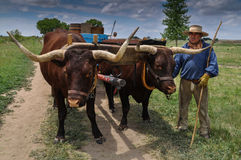Teamster with pair of oxen pulling wagon Royalty Free Stock Photo
