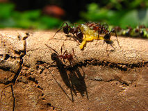 Teamwork. A macro view of a team of ants breaking up and sucking a pupae Royalty Free Stock Photo