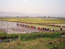 Teamwork 3. Teamwork in a rice plantation in myanmar Royalty Free Stock Photo