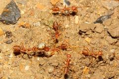 Teamwork ant Royalty Free Stock Photo
