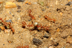 Teamwork ant Royalty Free Stock Photography