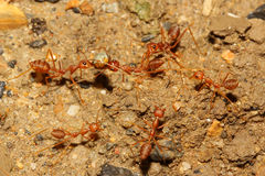 Teamwork ant Stock Photo