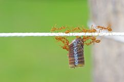 Teamwork of ants Stock Photos