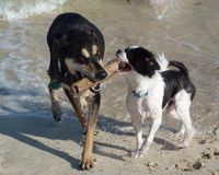 Teamwork at beach. Dogs carry branch together at beach Royalty Free Stock Photos