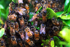 Teamwork bee Royalty Free Stock Images