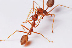 Teamwork And Communication. Reds ants doing what they have been doing for millions of years stock images