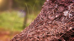 Teamwork footage: Ants colony in the forest stock video