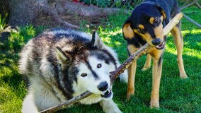 Teamwork - Husky and Beagle Dogs Royalty Free Stock Photos
