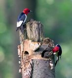 Teamwork Of Redhead Woodpecker Stock Photos