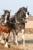 Teamwork,pulling together. Two Shire horses ploughing Stock Photos