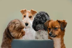 Teamwork skills, group of dogs surfing in internet. Team of dogs working at laptop or surfing in internet staring at the screen royalty free stock images