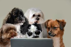 Teamwork skills, group of dogs surfing in internet. Team of dogs working at laptop or surfing in internet staring at the screen stock images