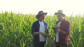 Teamwork smart farming concept slow motion video. two men agronomist holds digital tablet touch pad computer teamwork in. Corn field is studying and examining stock video footage
