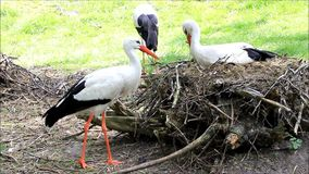 teamwork, storks building their nest with twigs stock video