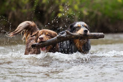 Teamwork. Two Australian Shepherd dogs retrieve together a branch in the water of a river Royalty Free Stock Images
