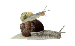 Teamwork of two snails Royalty Free Stock Photo
