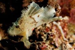 Teanianotius triacanthus -叶子石头鲈 库存照片