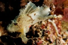 Teanianotius triacanthus - Leaf scorpion fish Stock Photos