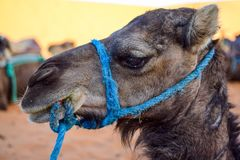 Tear in the eye of a dromedary that is resting in the shade. Photograph taken somewhere in Merzouga Morocco Stock Photos