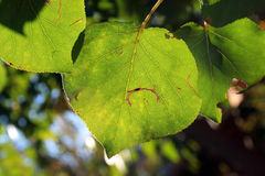 TEAR IN LEAF. Green leaf with tear in Royalty Free Stock Photography