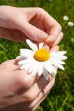 Tear off petals. Hands tear off the camomile petals Royalty Free Stock Photography