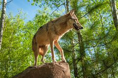 Teares do lúpus de Grey Wolf Canis acima na rocha foto de stock royalty free